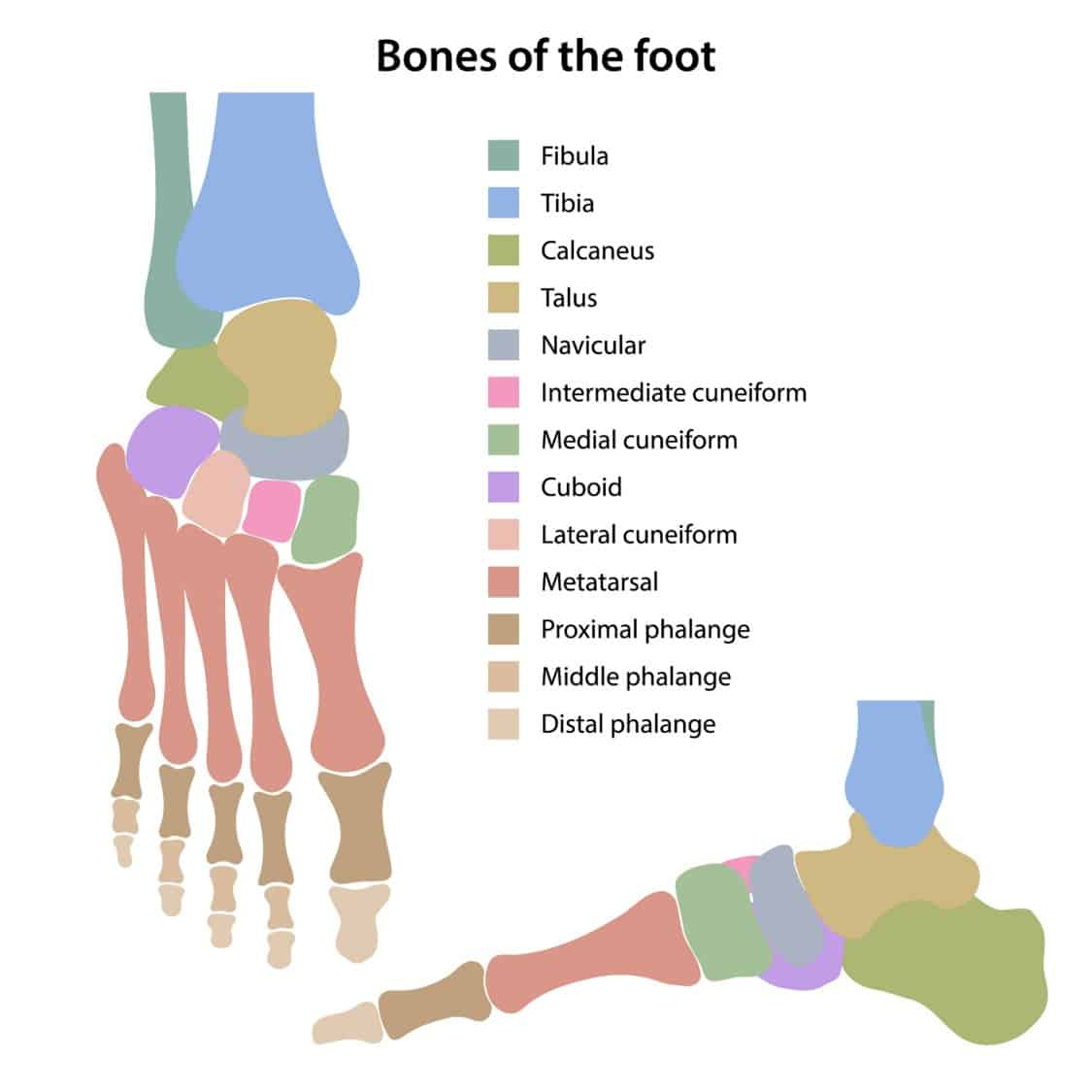 Bones of the foot illustration color coded front and side views